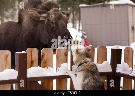 Siberian Husky and a moose calf nose to nose over a picket fence, Wasilla, Southcentral Alaska, Winter - Stock Photo