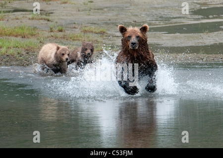Brown Bear sow chases salmon while her cubs watch from the beach, Chinitna Bay, Lake Clark National Park, Southwest - Stock Photo