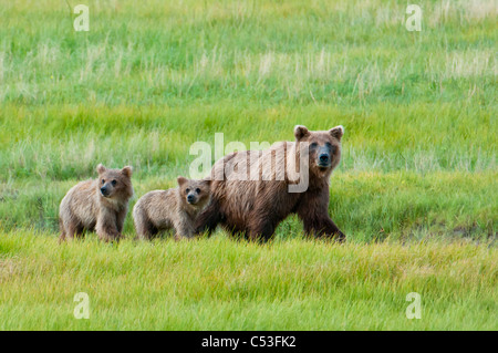 Brown bear sow walks with her cubs in a grassy meadow, Chinitna Bay, Lake Clark National Park, Southcentral Alaska, - Stock Photo