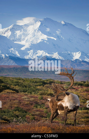 Caribou bull standing on a ridgeline with Mt. McKinley and Denali National Park in the background, Alaska. COMPOSITE - Stock Photo