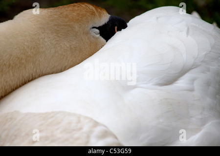 Close-up of Mute Swan sleeping (cygnus) Stock Photo