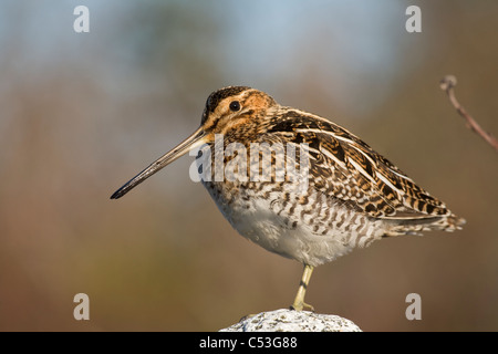 Wilson's Snipe perched on a rock, Copper River Delta, Southcentral Alaska, Spring - Stock Photo