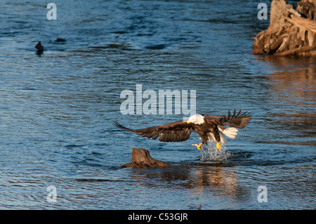 Bald Eagle catches a hooligan fish in its talons while fishing in the Alaganik Slough, Chugach National Forest, - Stock Photo