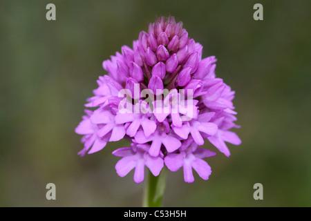 Pyramidal Orchid Anacamptis pyramidalis - Stock Photo