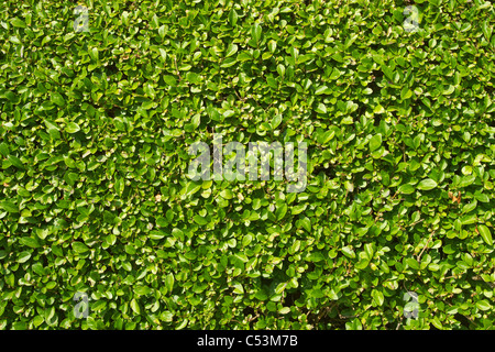 A neatly trimmed garden hedge green leaves close up. - Stock Photo