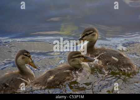 close-up view of three little ducklings playing in water - Stock Photo