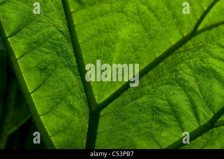 Gunnera manicata - Giant rhubarb - Stock Photo