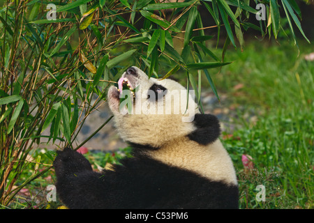 Panda bear eating bamboo at Chengdu Giant Panda Breeding Center Sichuan China - Stock Photo