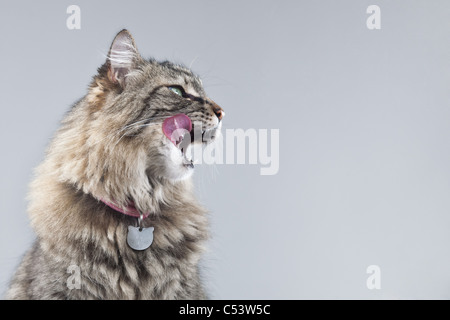 Tabby cat in profile against a gray background licks her lips, with a pink tongue sticking out. - Stock Photo