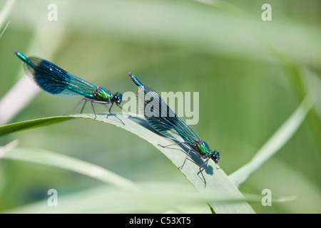 Banded Demoiselle (Calopteryx splendens) dragonflies resting during displaying for females on the bank of the River - Stock Photo
