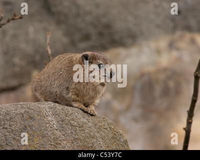Dassie or Rock hyrax Procavia capensis - Stock Photo