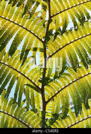 Cibotium Glaucum. Hawaiian tree fern . Blonde Tree Fern - Stock Photo