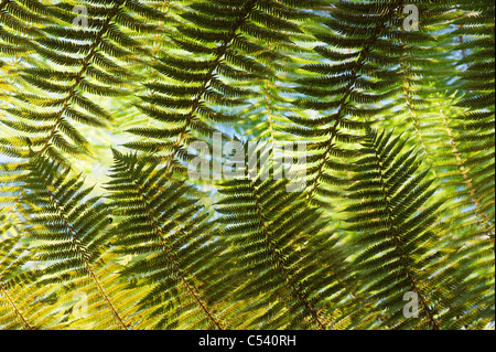Cyathea Dealbata. Silver tree fern - Stock Photo