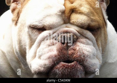 Bulldog face pouting, sulking or smelling something unpleasant - Stock Photo