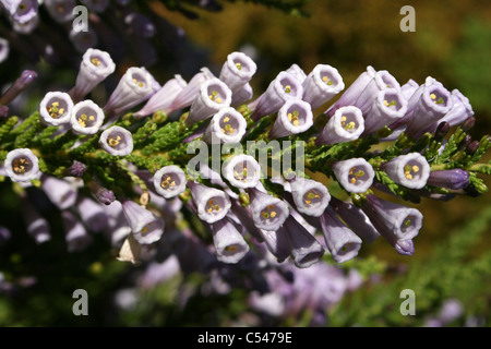 Flowering Violet Pichi Fabiana imbricata f. violacea At Ness Botanic Gardens, Wirral, UK - Stock Photo