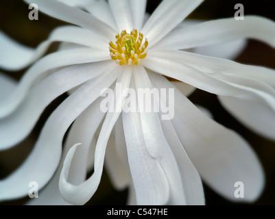 Close up of Royal Star Magnolia (magnolia stellata). Oregon - Stock Photo