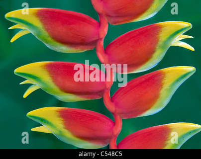 Hanging Lobster Claw, (Heliconia rostrata). St. John Virgin islads - Stock Photo