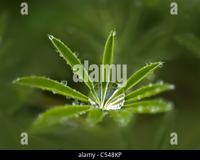 Lupine leaves after rain storm. The Connie Hansen Garden. Lincoln City, Oregon - Stock Photo