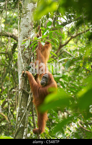 Sumatran orangutan mother & baby - Stock Photo