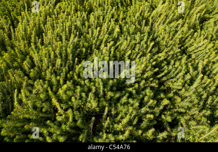 Spruce  ( picea sabies ) saplings at storage area waiting for planting - Stock Photo