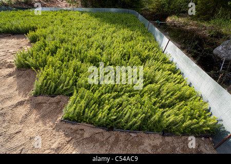 Spruce  ( picea sabies ) saplings storage area . Surrounded by a metal fence to protect saplings against rodents - Stock Photo