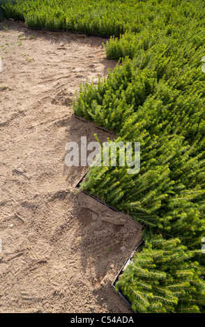 Spruce  ( picea abies ) saplings at storage area waiting for planting - Stock Photo