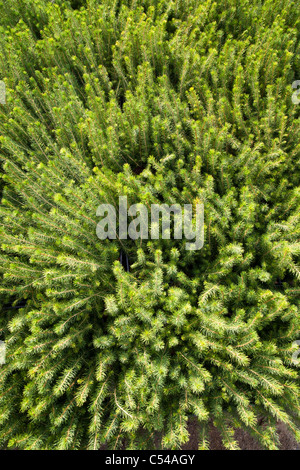 Spruce ( picea abies ) saplings waiting for planting - Stock Photo