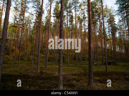 Pine ( pinus sylvestris ) forest growing on dry esker , Finland - Stock Photo