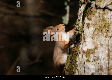 Red Squirrel (Sciurus vulgaris) climbing a tree in the forest, Highlands, Scotland, UK - Stock Photo