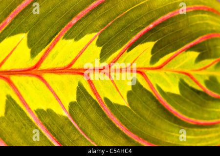 Colourful leaf close-up of a Prayer Plant (Maranta leuconeura) - Stock Photo