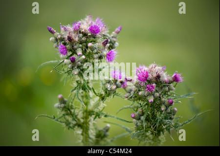 Cirsium arvense - creeping thistles - Stock Photo