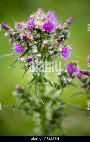 Cirsium arvense - creeping thistle - Stock Photo