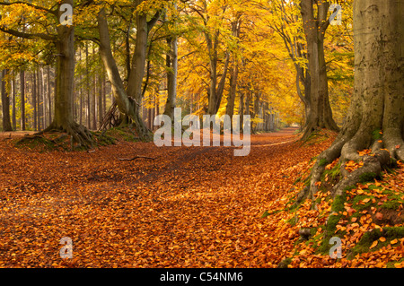 The ancient beech tree avenue within Harlestone Firs displaying rich golden autumn colours on the edge of Northampton, - Stock Photo