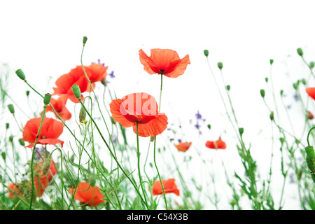 Tender poppy flowers on a white background. - Stock Photo