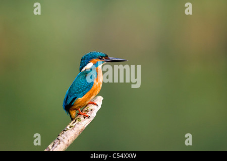 The Netherlands, Lelystad, National Park called Oostvaarders Plassen. Common Kingfisher perched on branch. ( Alcedo - Stock Photo