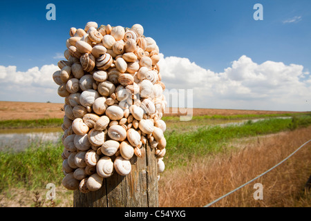 Snails on a fence post in the Coto Donana, Andalucia, Spain, one of the most imortant wetland wildlife sites in - Stock Photo