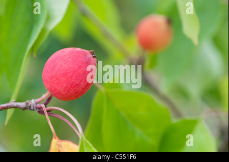 Malus 'Pink Glow' . Crab Apples on the Tree - Stock Photo