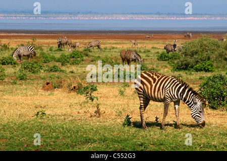 Herd of Zebras grazing in a field, Lake Manyara National Park, Tanzania - Stock Photo