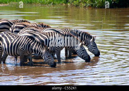 Herd of Zebras drinking water at a river, Serengeti National Park, Tanzania - Stock Photo