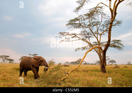 African elephant (Loxodonta africana) grazing in a forest, Serengeti National Park, Tanzania