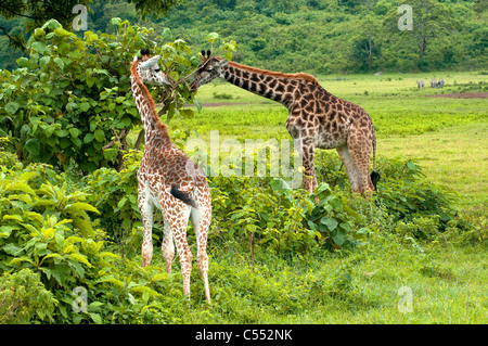 Masai giraffes (Giraffa camelopardalis tippelskirchi) grazing in a forest, Mount Meru, Arusha National Park, Tanzania - Stock Photo