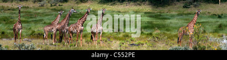 Herd of Masai giraffes (Giraffa camelopardalis tippelskirchi) grazing in a forest, Arusha National Park, Tanzania - Stock Photo
