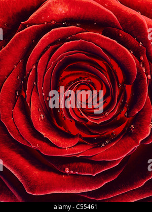 Abstract photo of a burning from inside beautiful red rose with drops of water on its petals - Stock Photo