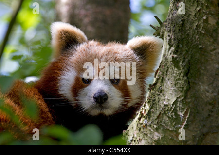 Red Panda, Ailurus fulgens rests in tree - Stock Photo