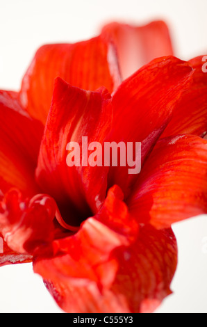 Amaryllis flower in red on white - Stock Photo