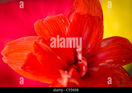 Amaryllis flower in red on pink and yellow - Stock Photo