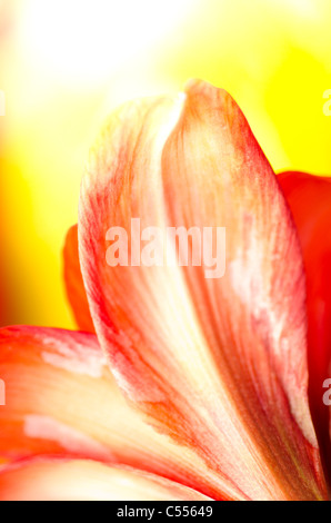 Amaryllis flower in red on yellow - Stock Photo