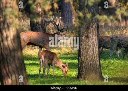 The Netherlands, Otterlo, National Park called De Hoge Veluwe. Red Deer (Cervus elaphus). - Stock Photo
