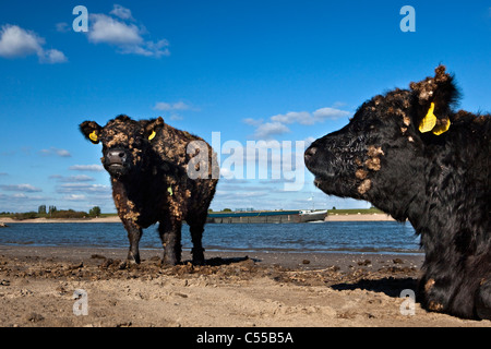 The Netherlands, Ooij, Ooij-polder. Galloway cow. Background: Cargo boat on Waal river. - Stock Photo