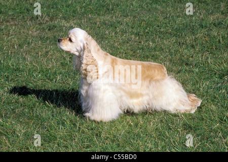 Portrait of American Cocker Spaniel dog - Stock Photo